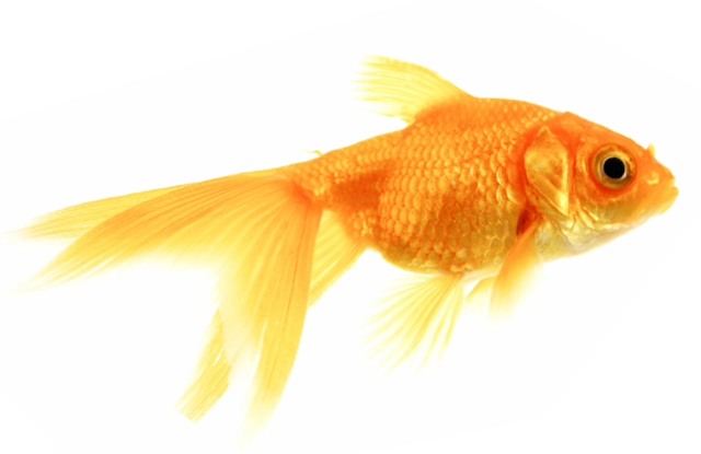 how do goldfish eggs look like. how do goldfish eggs look